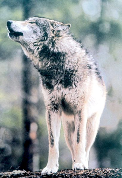 Pictures of your wrestlers 409px-gray_wolf_in_grand_teton_np-nps